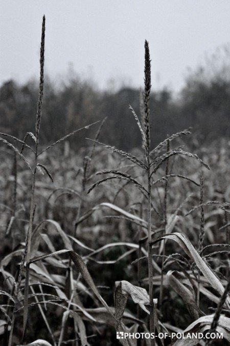 Złotnik pole kukurydzy Polska lubuskie
